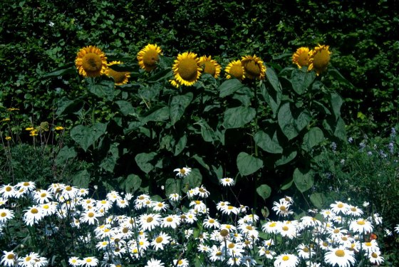 Cardiff sunflowers